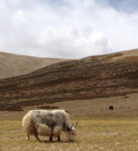 A nomad's yak grazing in a grassy valley a day near Tso Kar. Ribbon's laced through ear identifies the owner of the herd. Wasn't sure how close to get, no trees or any place to retreat if they turned out to be surly.